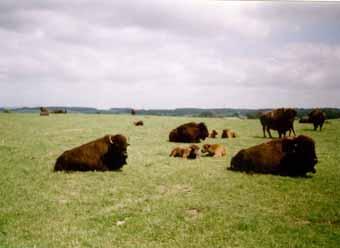 Bison de la ferme