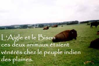 bison de la ferme des ...