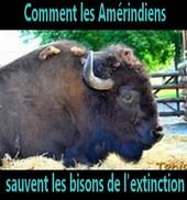 Comment les Amérindiens sauvent les bisons de l'extinction - Geo.fr